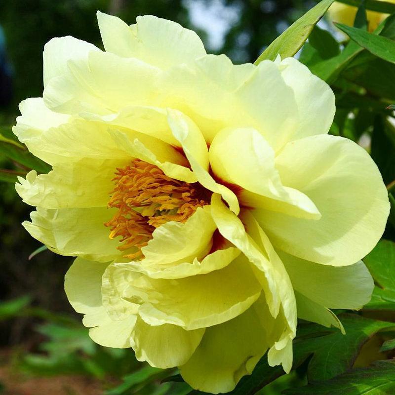 黄色いぼたんの花