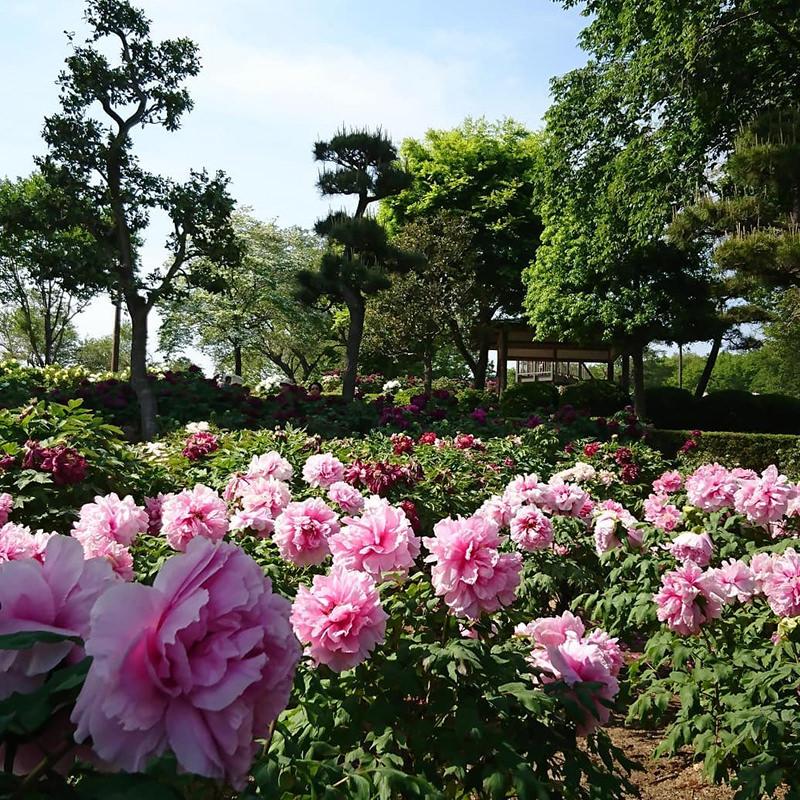園内に咲き乱れるぼたんの花