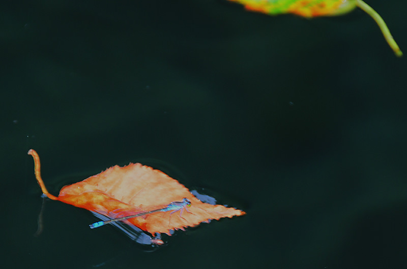 水面の落ち葉 トンボ