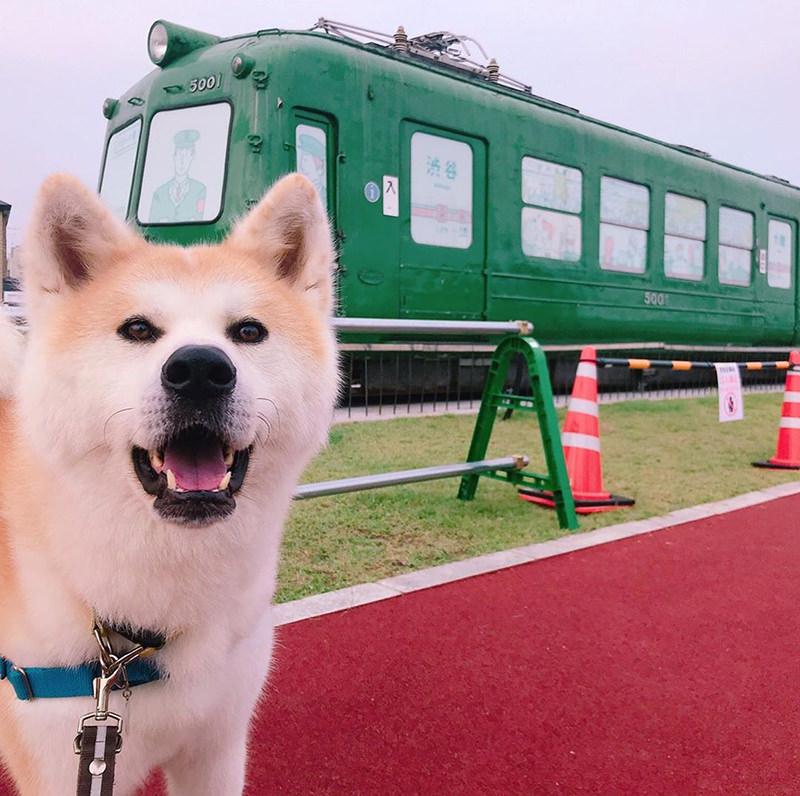 秋田犬の勝大くん