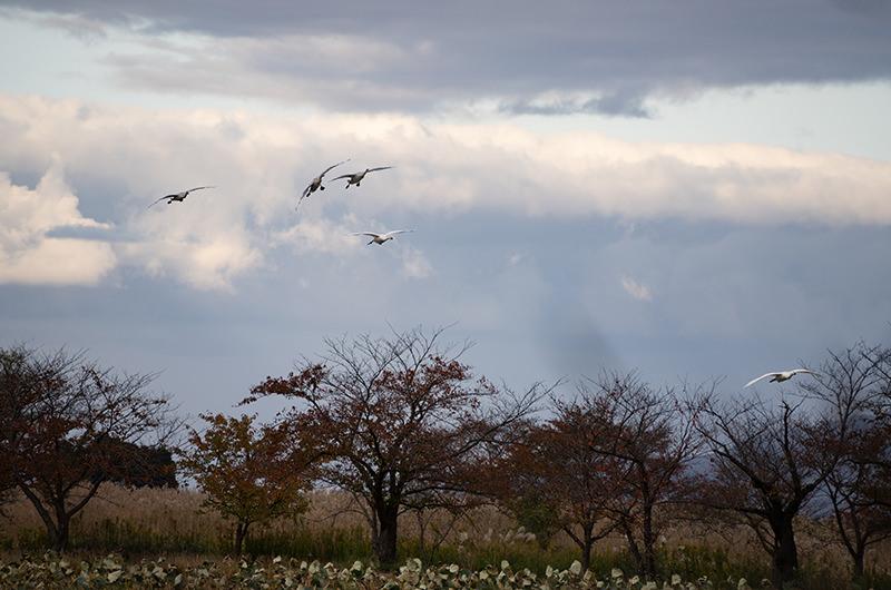 瓢湖 白鳥