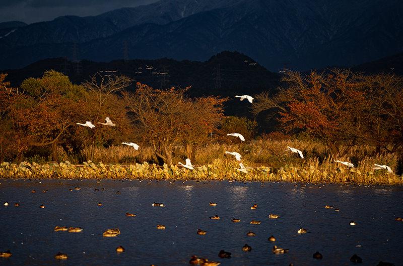 西陽が射す瓢湖 白鳥