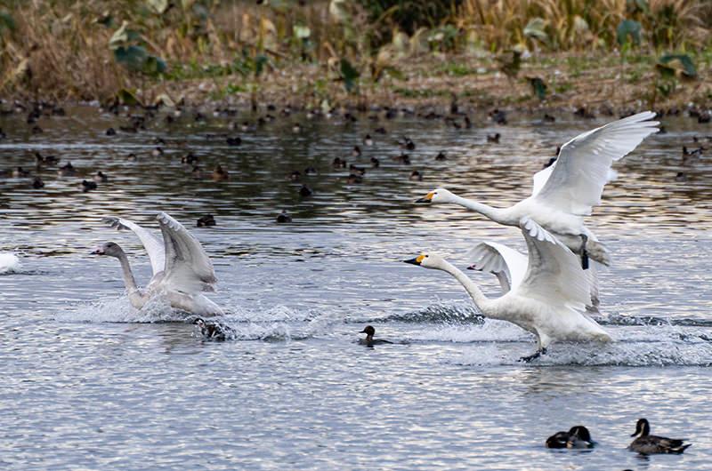 優雅な白鳥に会いに、新潟・瓢湖へ。今しか見れない絶景は必見!