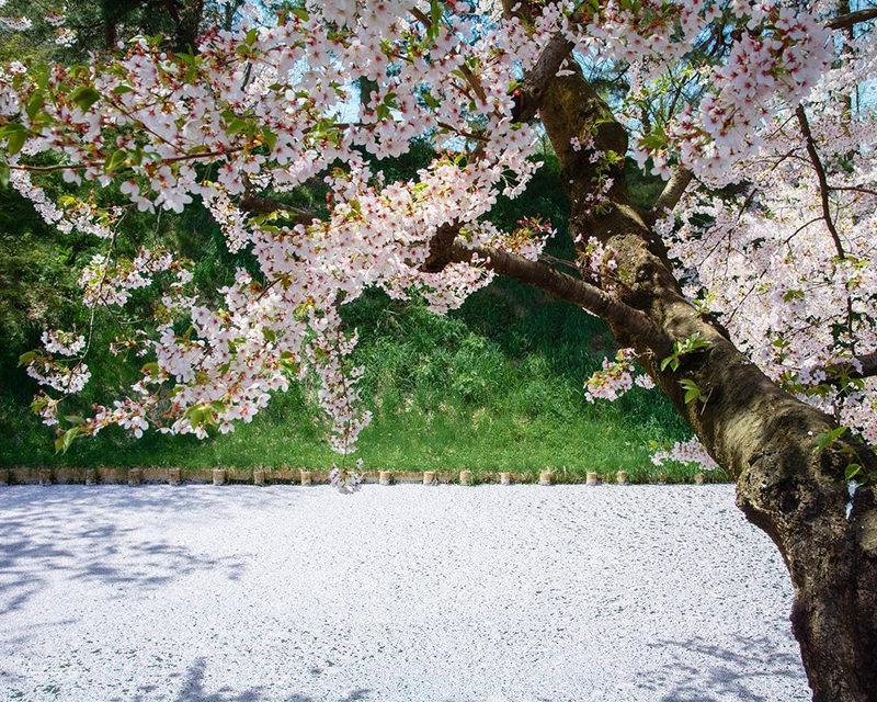 弘前城公園のお堀の桜