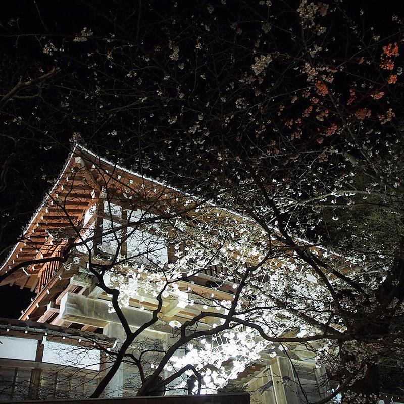 千秋公園の夜桜