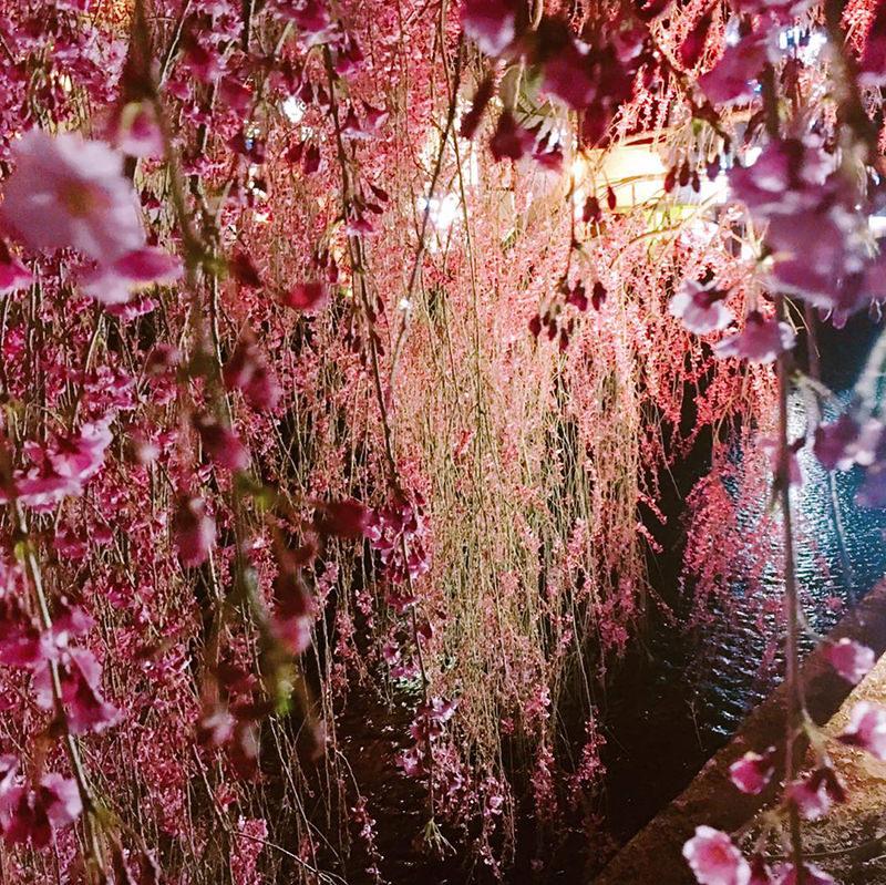 倉津川のしだれ桜