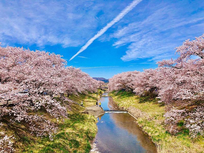 藤田川の桜