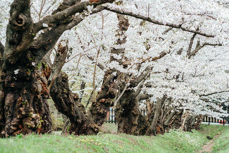 上丸牛舎の桜並木