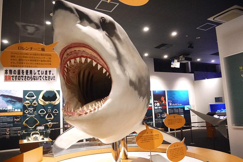 シャークミュージアム サメの模型