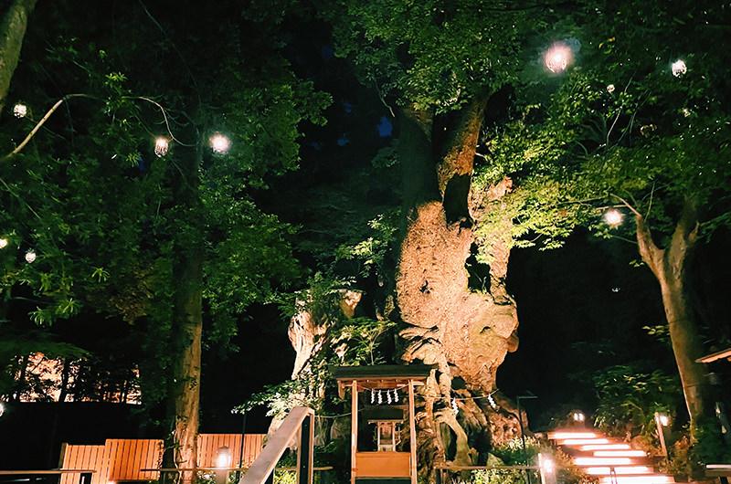 色鮮やかな初夏の熱海。神秘的な夜の來宮神社、ジャカランダの花