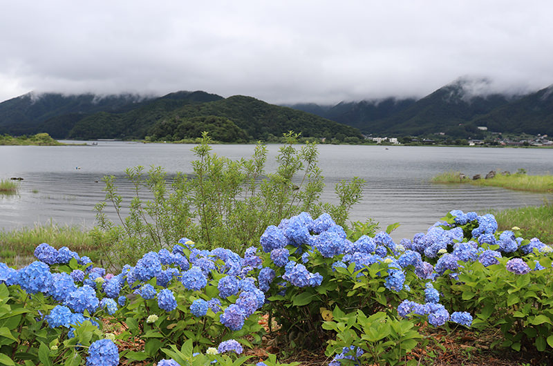 八木崎公園 アジサイ
